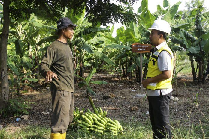 SIG terus berupaya meningkatkan produktivitas petani pisang cavendish dengan melakukan pendampingan pertanian.