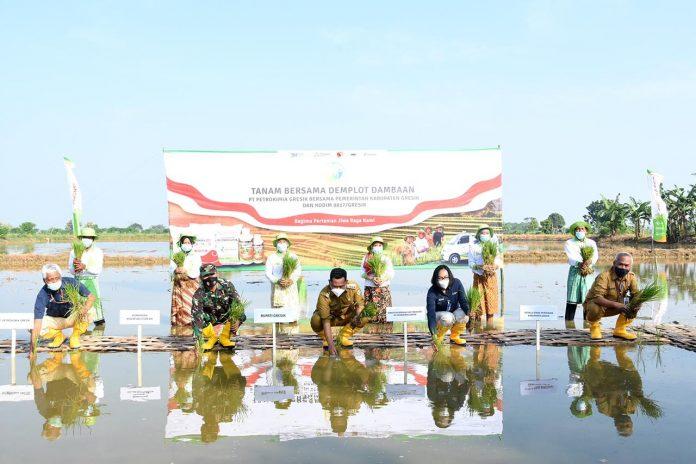 DOP PG, Digna Jatiningsih (no.2 dari kanan) dan Bupati Gresik,H. Fandi Akhmad Yani (no.3 dari kanan) melakukan tanam padi di lahan Demplot Dambaan pengaplikasian Phonska OCA, Gresik (12-04-2021)