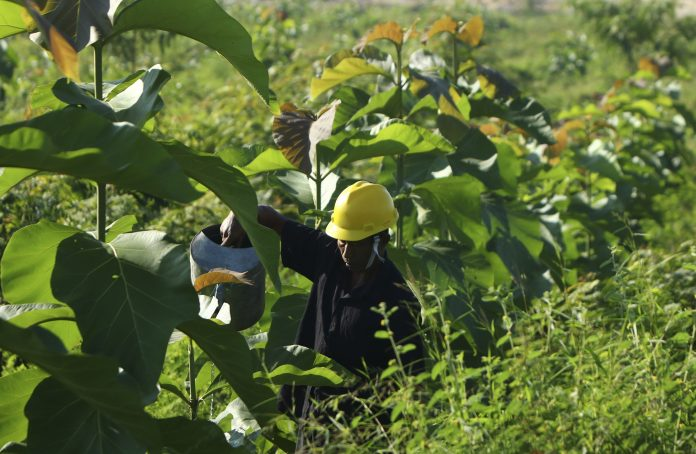 Pemeliharaan pohon di lahan pascatambang batu kapur Pabrik Tuban, Jawa Timur.